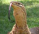 Kumi Lizard