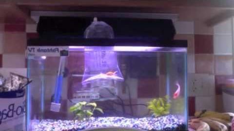 12 Fantail Goldfish Acclimation Process
