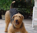 Airedale Terrier/Galeria