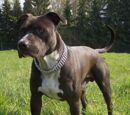 American staffordshire terrier/Galeria