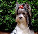 Yorkshire Terrier Biewer