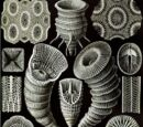 Четырёхлучевые кораллы