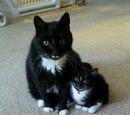Black Tuxedo Cat/gallery