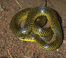 Cobra-d'água