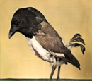 Bare-Fronted Hoodwink