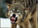 Scary wolf.jpg