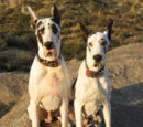 Lava and Rumpus (dogs)
