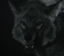 Hombre Coyote