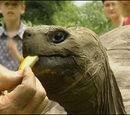 Harriet the Giant Land Tortoise