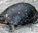 Yellow-Bellied Mud Turtle