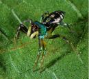 Araña Saltadora Brillante