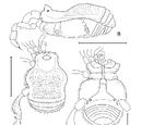 Zalanodius convexus