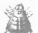 Acantholibitia pustulosa