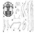 Gagrella indochinensis