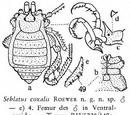Seblatus coxalis