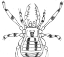 Sterrhosoma brevipalpe