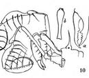 Acrobunus nigropunctatus