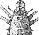 Agoristenus