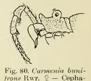 Carmenia bunifrons