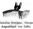 Ceratobunellus
