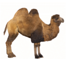 Bactrian Camel (Ludozoo)