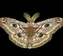 Live Food Moth (HENDRIX)