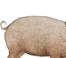 Domestic Pig (Tyranachu)