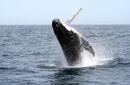Humpback whale by Kwayera.jpg