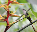 Wedge-tailed Sabrewing