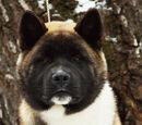 Босс (пёс)