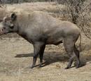 Entelodontidae