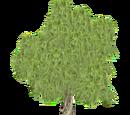 Babylon Willow (HENDRIX)