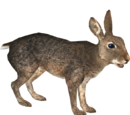 European Rabbit (Ulquiorra)