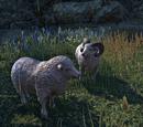 Вівця (Online)
