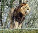 Podgatunki lwów