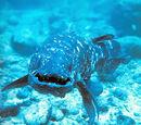 Lobe Finned Fish