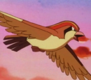 Pidgeot (anime)