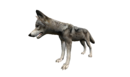 Wolf close up left.png