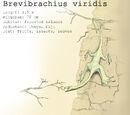 Brevibrachius