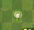 Lantern Grass