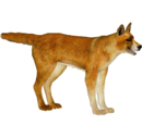 New Guinea Singing Dog (Whalebite)
