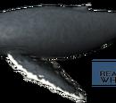 Długopłetwiec oceaniczny