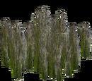 Swamp Club-rush (Whalebite)