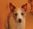 Niederläufige Terrier