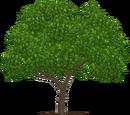 Black Mangrove (Realy)