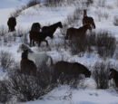 Alberta Mountain Horse