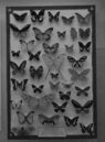 1024px-A butterfly collection.jpg