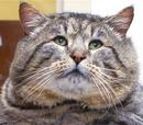 Admiral Fat Cat