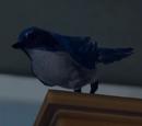 Синяя сойка