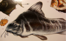Stink-fish (Foetidichthys hebeo).png
